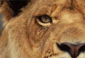 lion-eye
